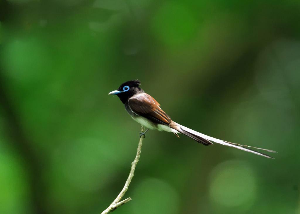 野鳥_208サンコウチョウ