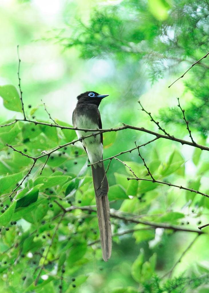 野鳥_209サンコウチョウ