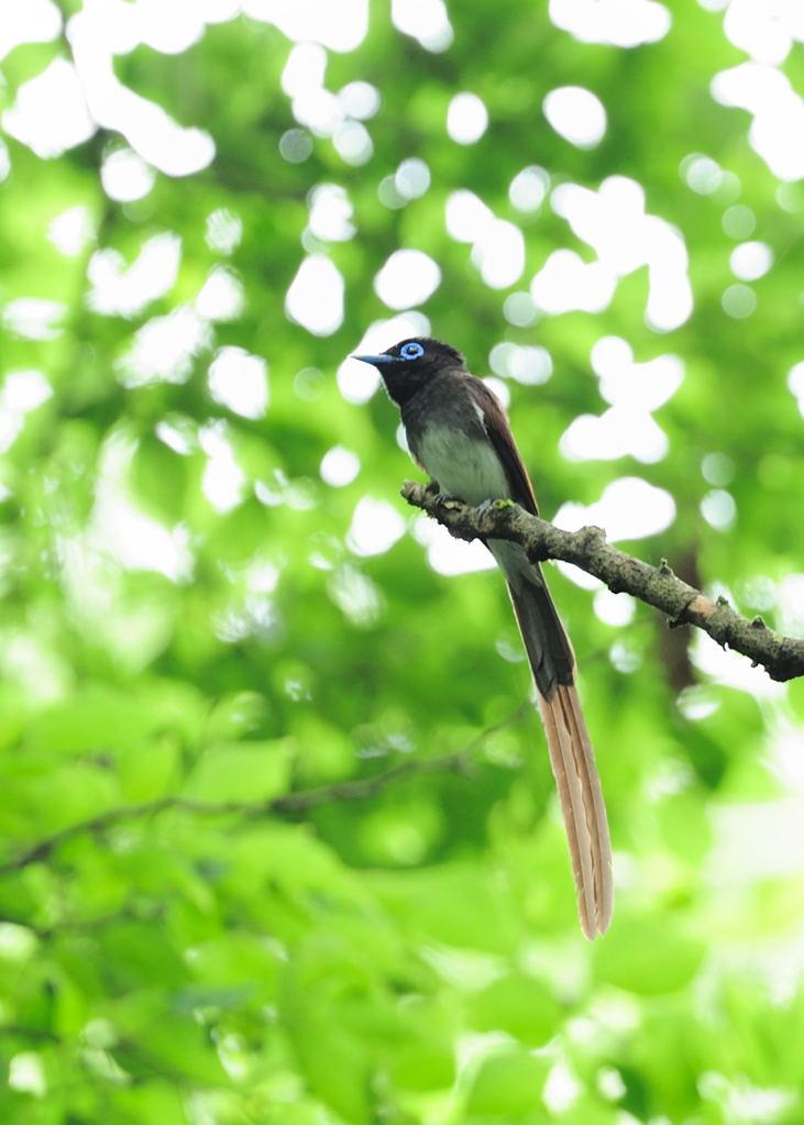 野鳥_210サンコウチョウ