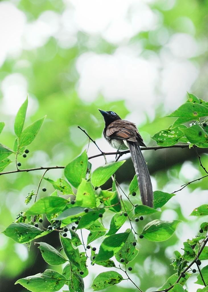 野鳥_213サンコウチョウ