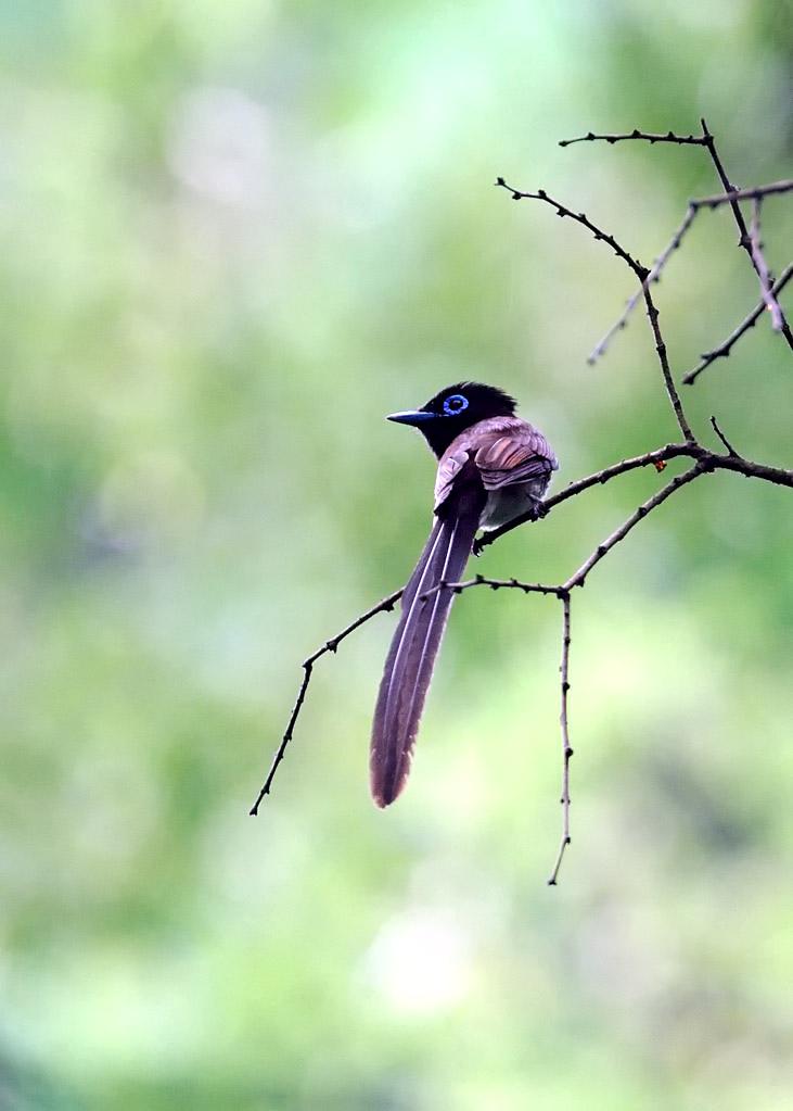 野鳥_214サンコウチョウ