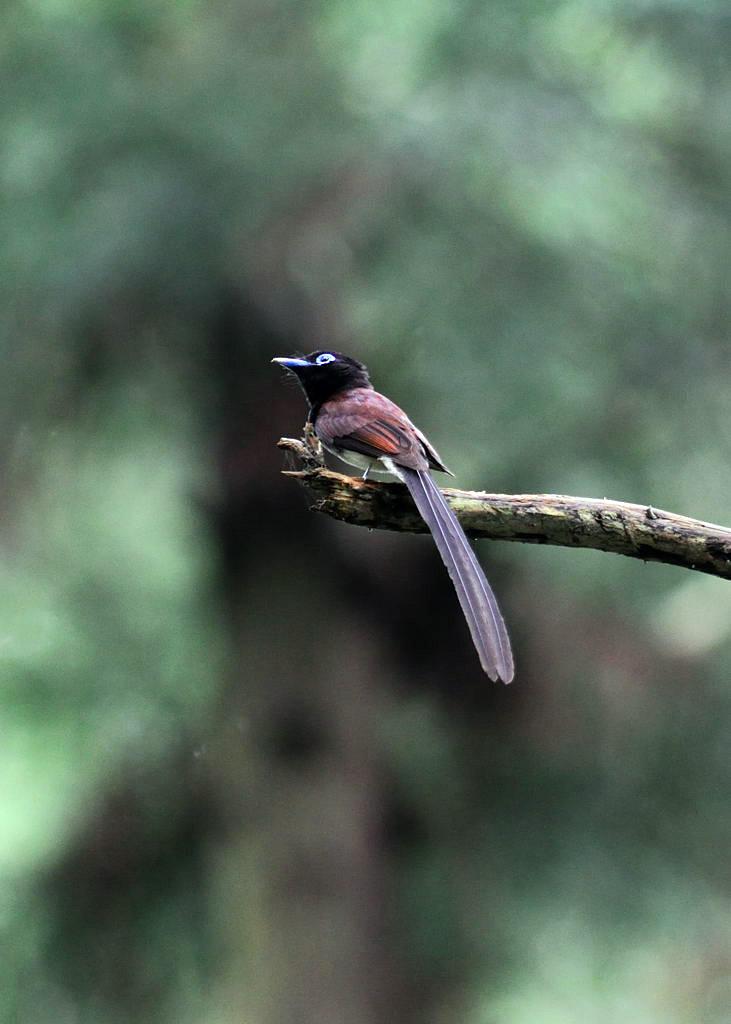 野鳥_215サンコウチョウ