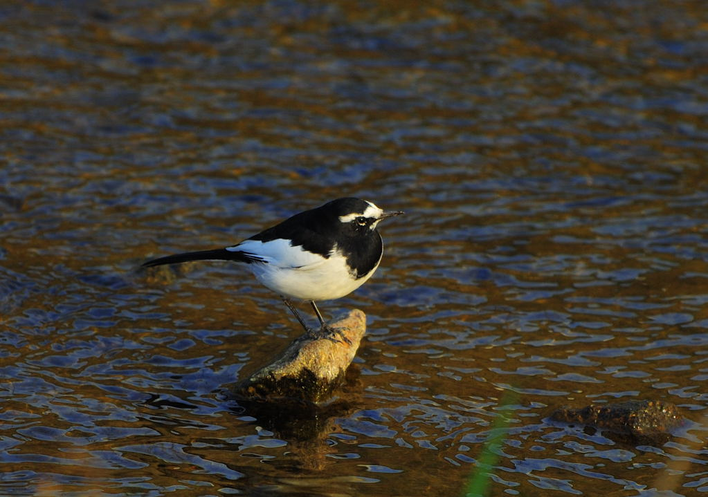野鳥_018セグロセキレイ