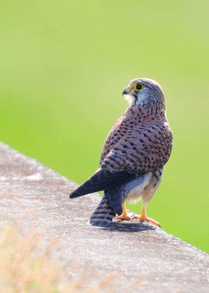 野鳥_138チョウゲンボウ