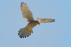 野鳥_135チョウゲンボウ