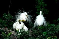 野鳥_199ダイサギ