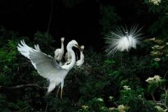 野鳥_200ダイサギ