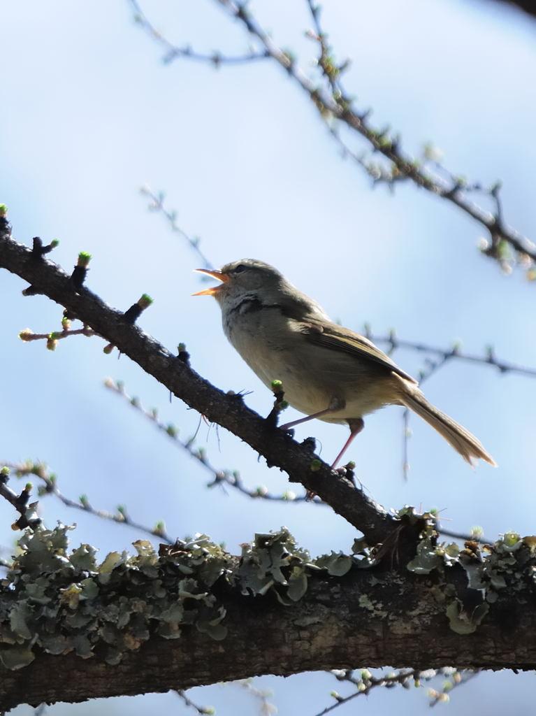 野鳥_051ウグイス