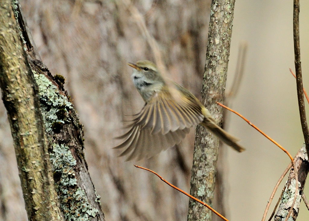 野鳥_155ウグイス