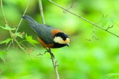 野鳥_148ヤマガラ
