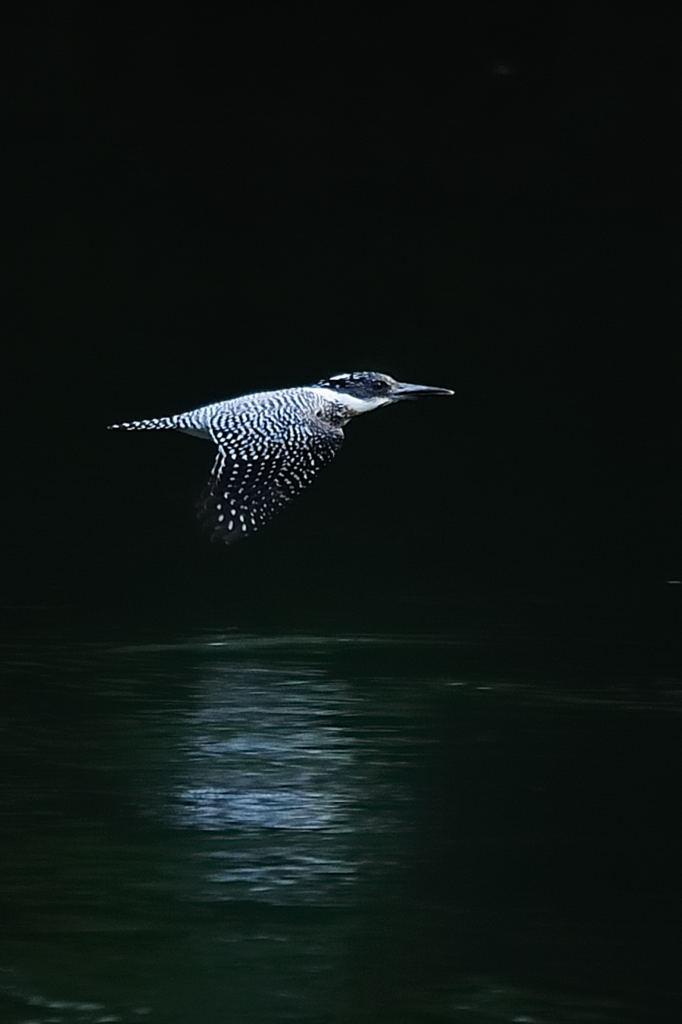 野鳥_063ヤマセミ
