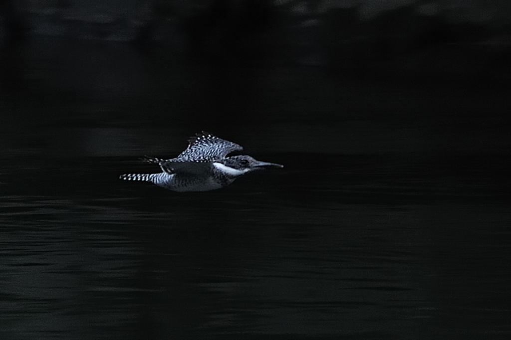 野鳥_065ヤマセミ