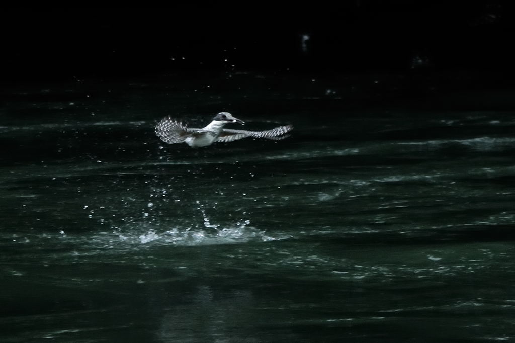 野鳥_068ヤマセミ