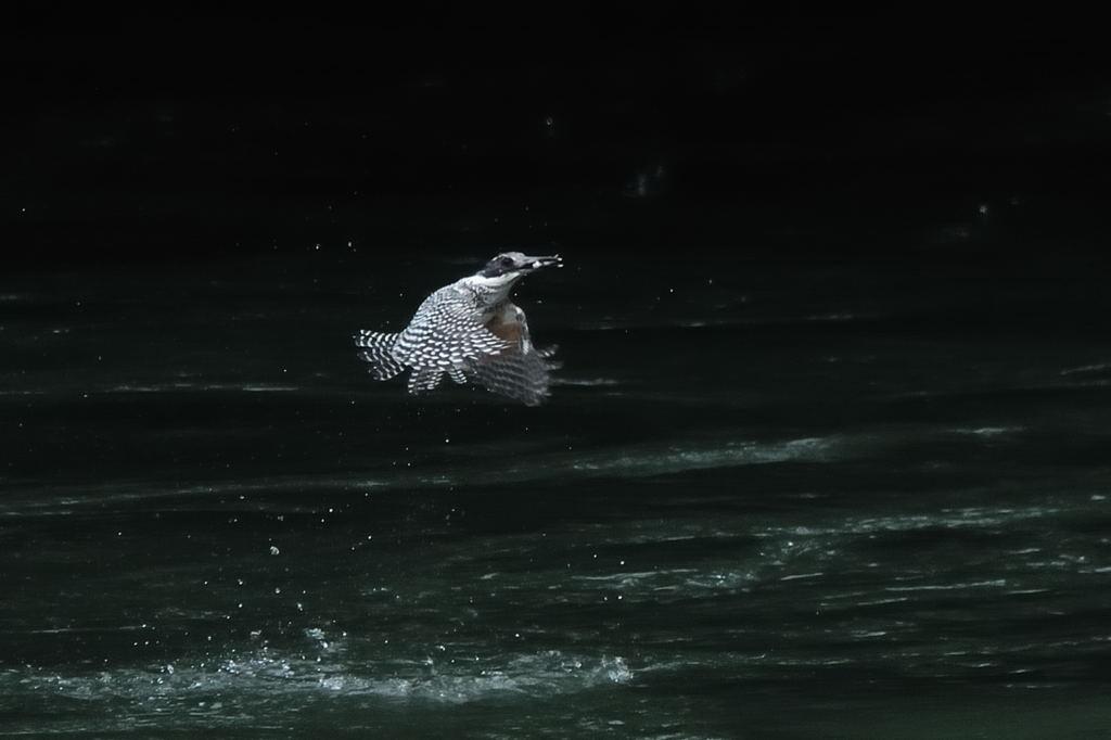 野鳥_069ヤマセミ