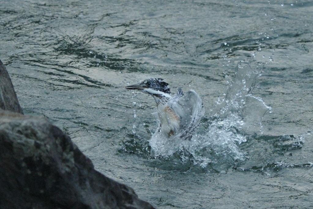 野鳥_072ヤマセミ