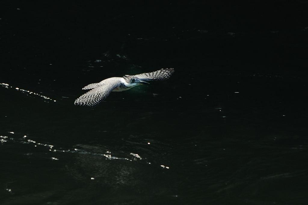 野鳥_076]ヤマセミ