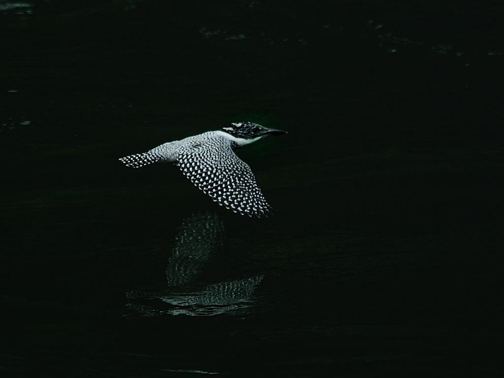 野鳥_079ヤマセミ