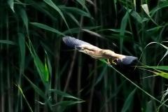 野鳥_089ヨシゴイ