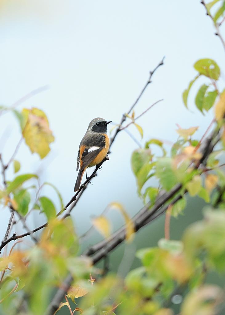 野鳥_093ジョウビタキ